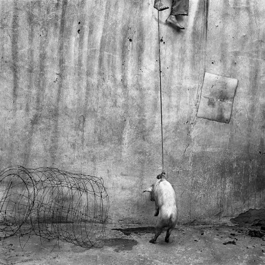 Fotó: Roger Ballen: Hanging pig, 2001