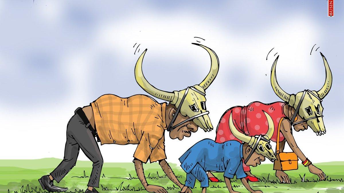 Nigerian cows to get CIN