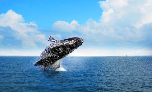 Entre enero y marzo cerca de 3,000 ballenas jorobadas llegan a aparearse en las aguas cálidas de la Bahía de Samaná