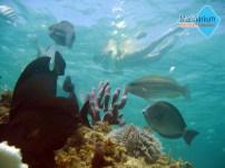 Snorkel over koralrev