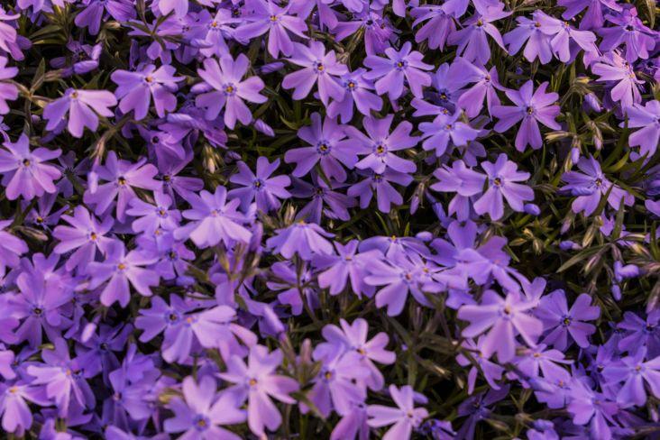 fiori di colore viola