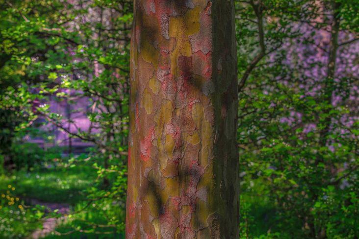 particolare corteccia colorata di una pianta cinese all'orto botanico di padova