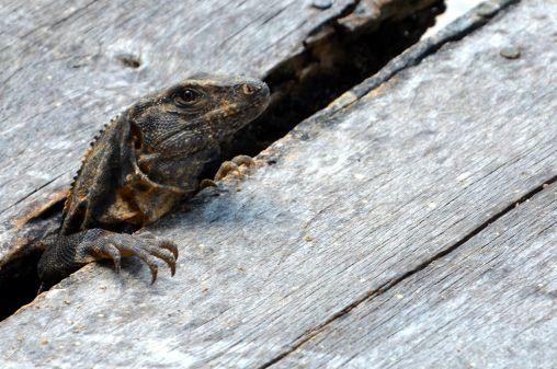 immagine di iguana