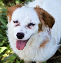 foto del mio cane Pepe breton misto pinscher bianco e marroncino