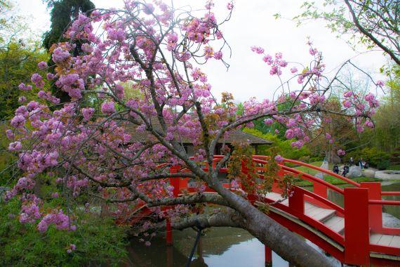 ponte rosso nel giardino cinese con pianta di ciliegio di fianco
