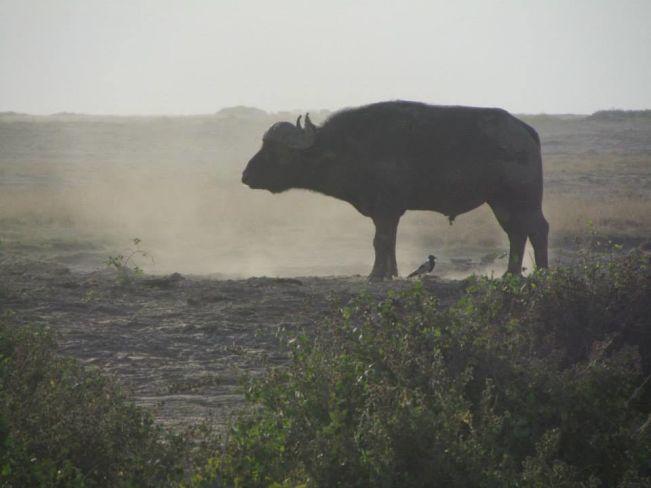 bufalo al parco dell'amboseli