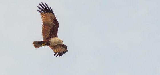 Il falco messaggero di lungimiranza