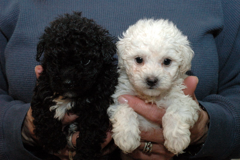 1000 Images About Maltipoo On Pinterest Maltipoo Dog