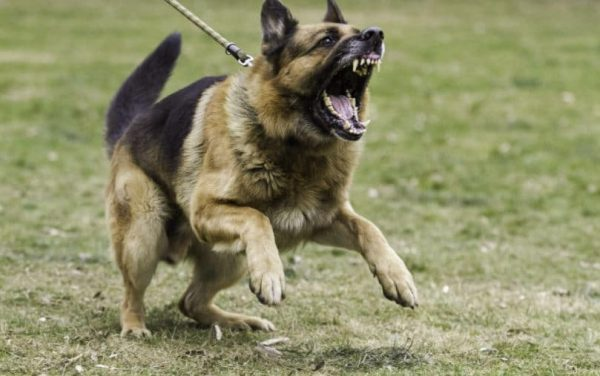 Dog Breeds Most Likely to Bite You