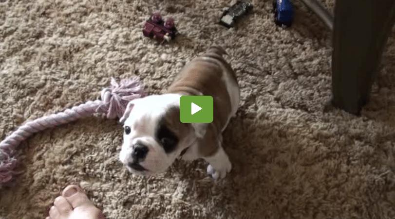 Puppy Has A Temper Tantrum