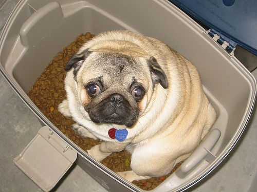 pug-in-food-container