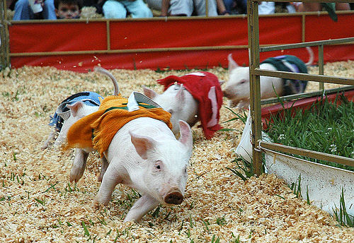 swine-flu-pigs