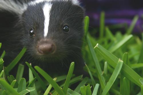 pet-skunk-in-grass