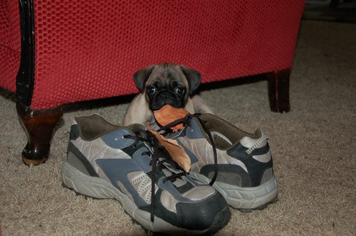 Cute funny Pug dog - To spur shoe sales, I was trained by Nike to chew anything with laces.