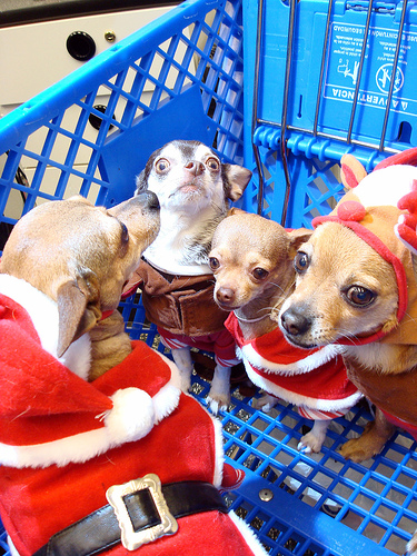 Funny Dog Pictures Chihuahua Christmas