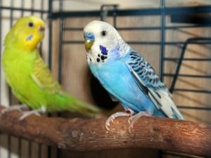 Parakeet Breeding Pair