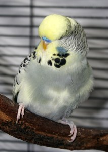 Yellow face gray dominant pied English budgie