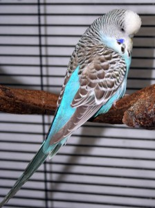 Cinnamon-wing sky-blue English budgie hen