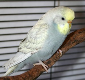 Gray yellowface spangle budgie parakeet