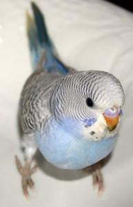 Greywing blue American Parakeet
