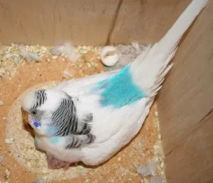 Double factor dominant pied skyblue budgie parakeet