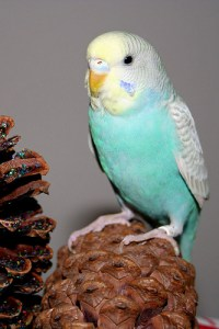 Yellowface type 2 skyblue Greywing American Parakeet
