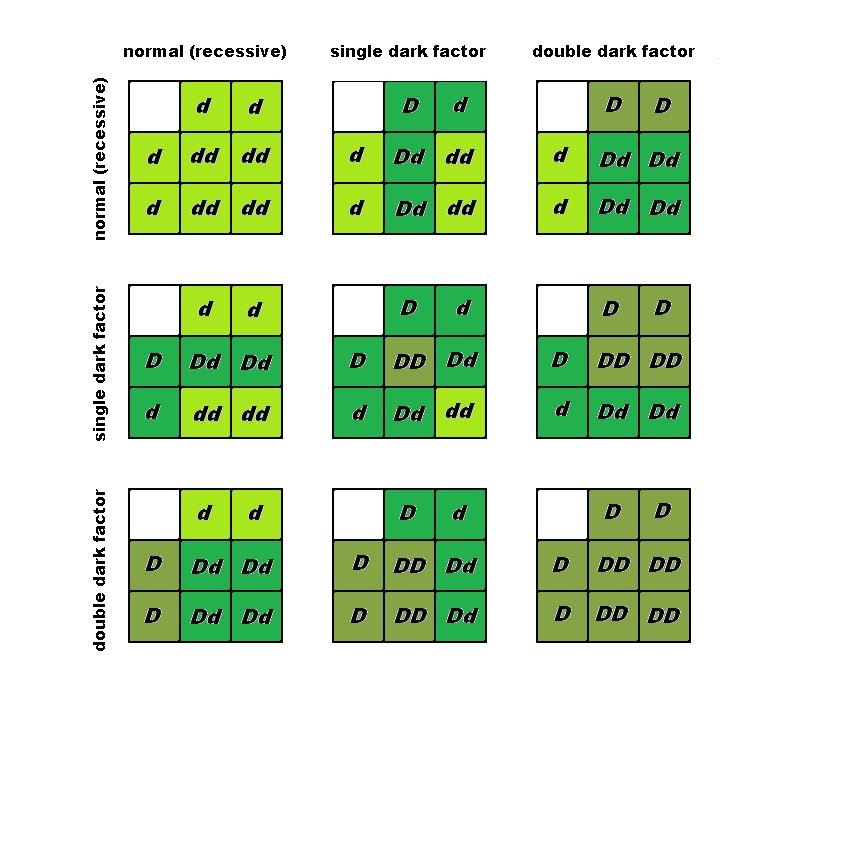 Dark Factor budgie parakeet breeding punnett square