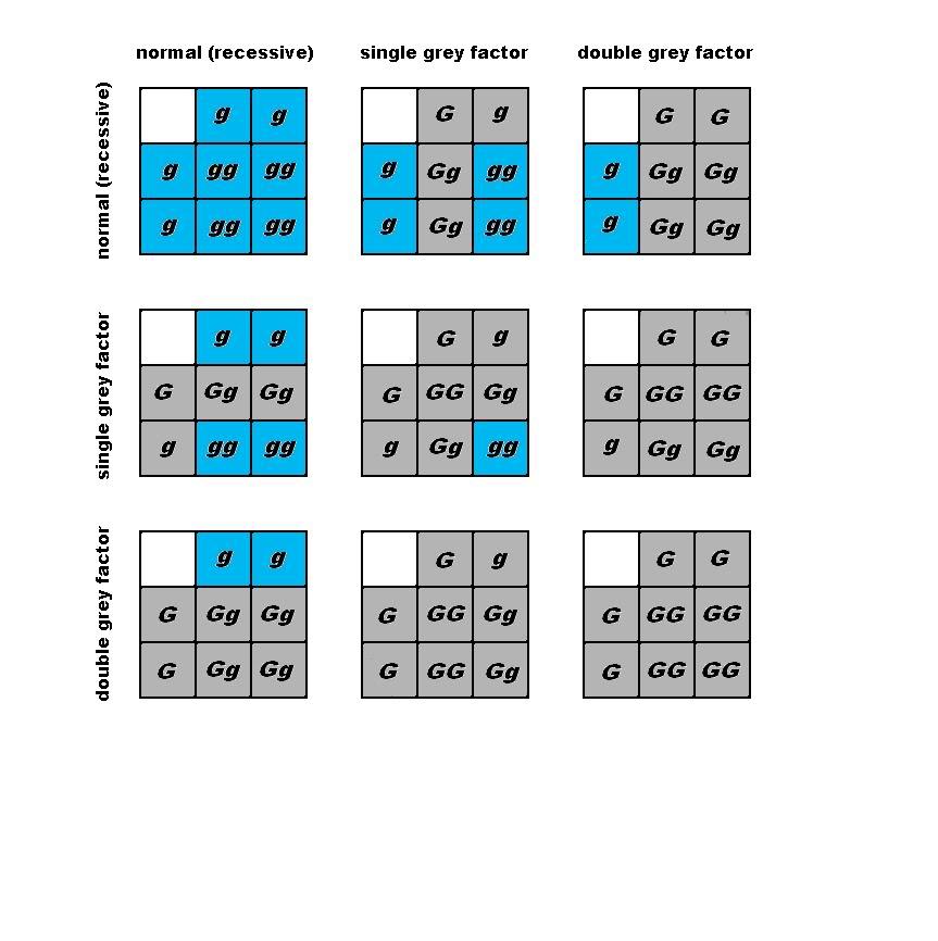 Gray factor budgie parakeet breeding punnett square