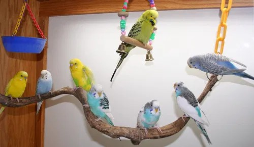 Budgie parakeets come in so many colors and mutations they remind me of jellybeans!