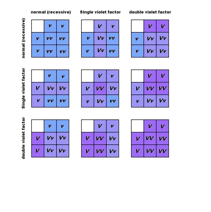 Violet Factor budgie parakeet breeding punnett square