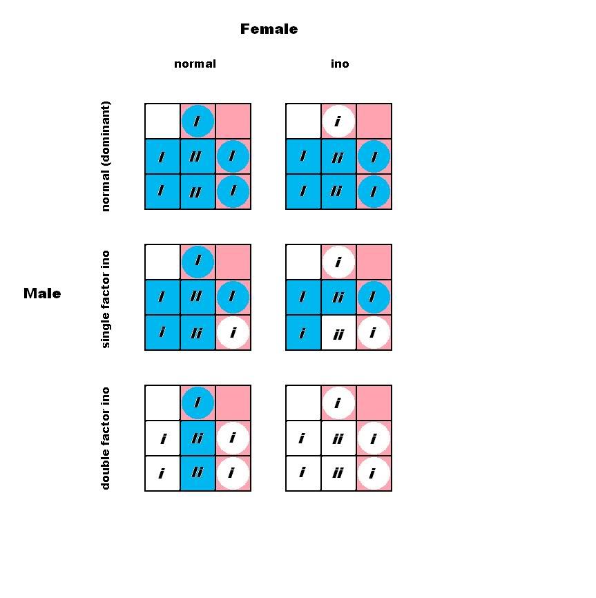 Budgie Parakeet Colors, Varieties, Mutations, Genetics-3330