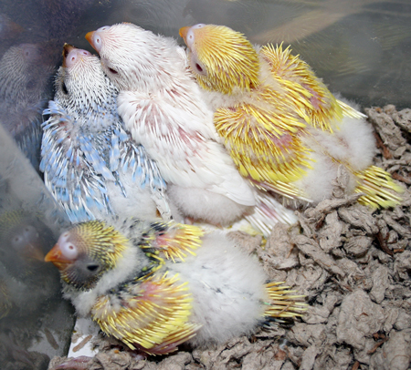 Hand feed adult parakeet