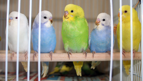Budgie Parakeet Questions Amp Answers Faq