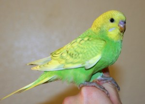 Light-green opaline spangle English budgie x American parakeet cross
