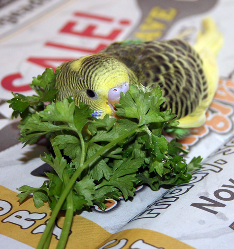 Can Lovebirds Eat Parakeet Food