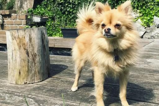 Chó Chihuahua lai Phốc Sóc