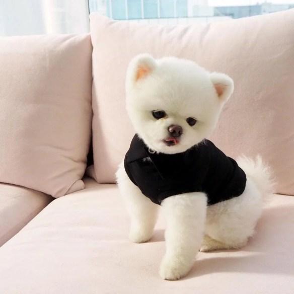 teddy-bear-pomeranian