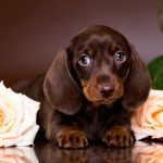 Dachshund Puppies For Sale Singapore Puppies Sale In Singapore Petshop 700 Facebook Reviews