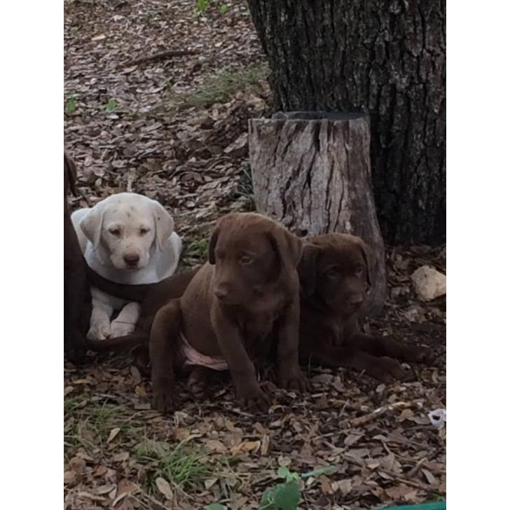 Near Mini Lab Me Sale Puppies