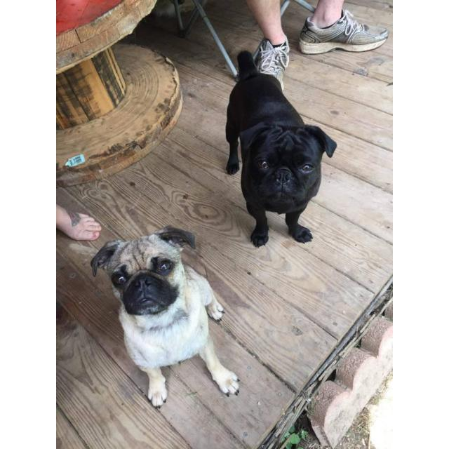 Adoption Pug Puppies Ohio