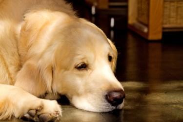 大きい犬【白色】を飼いたい人におすすめの犬種と飼う時の注意点