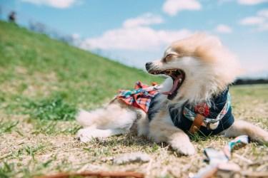 犬の生理の期間はどのくらい?生理中の過ごし方について