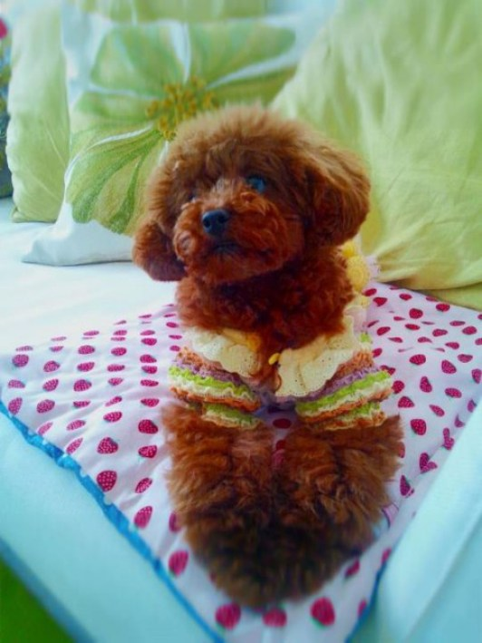 先日知人のお嬢さんが我が家に遊びに来てくれたときに、撮ってくれた写真です☆とっても可愛いく撮ってくれたので(*^^*♪ イチゴは体重も1キロになりちょっとお姉ちゃんになったでしょ(^^)v