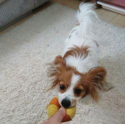 はじめましての小雪ちゃんをパチリ。 カウンセリングの後はお気に入りのボールで一緒に遊びました これからの小雪ちゃんの成長にわくわくです(^-^)