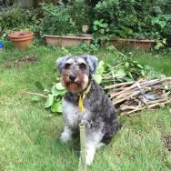 今日は家族にプチジャングルと化した庭の整備をしてもらいました。 続きは来週に持ち越しです(*^^*) 今日は集めた枝の前で、自分も手伝ったフリをするポルトをパチリ。