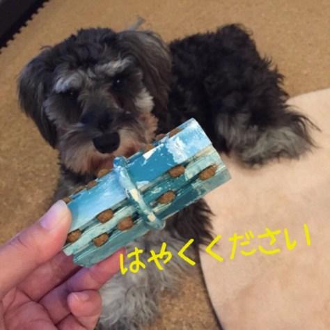 雨の日はコング!など良くお伝えしていますが、実際に使ってもなかなか遊んでくれない・・・というお話も良くお聞きます。 今回のブログはPuppyBeans定番のフードの詰め方などをお伝えします。ブログ更新しましたhttps://puppybeans.tokyo/2015/02/13/chiikugangu/