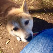 柴犬おとちゃん、おやつちょーだい!をパチリ。 おとちゃん、お散歩トレーニング中に不安になるとわたしのそばに来て歩いていました(o^^o) 和犬のさりげない甘え方も可愛いですね♡
