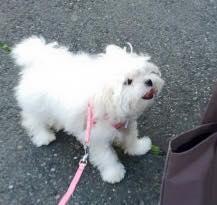 お散歩レッスン中のなつめちゃんをパチリ。ママさんもなつめちゃんも頑張っています! なつめちゃんのブログにPuppyBeansのことも書いていただいちゃいました♪ ぜひ見て下さいね(^∇^) http://daisybear.jugem.jp/?eid=40