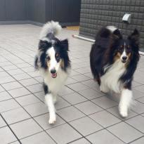 仲良く走る、サヴィーちゃん&アイビーちゃんをパチリ。呼び戻しトレーニングではスピード感のある走り姿に見惚れてしまいます(*^^*)