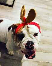 Tatjana D- Jetta, another beabull of ours, is ready for Christmas.